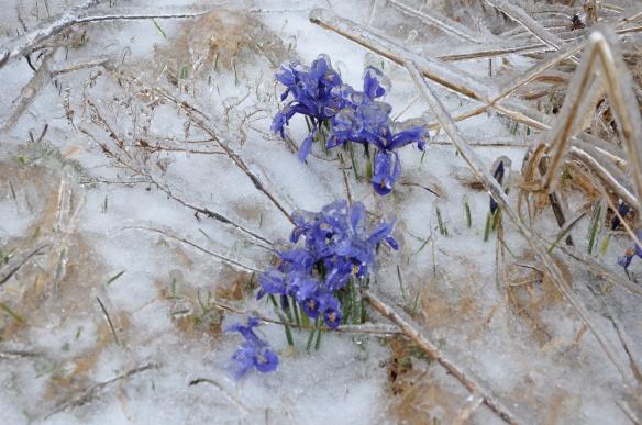 Siberian Iris in Ice